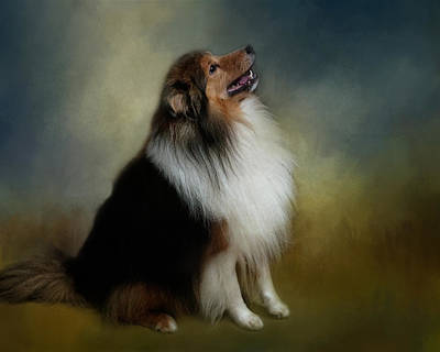 Photograph - Shetland Sheep Dog by TnBackroadsPhotos