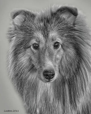 Shetland Sheepdog Art Print by Larry Linton
