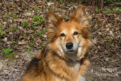 Photograph - Shetland Sheepdog by Les Palenik