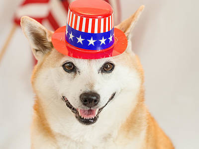 Photograph - Shiba Inu Fourth Of July by Robin Zygelman