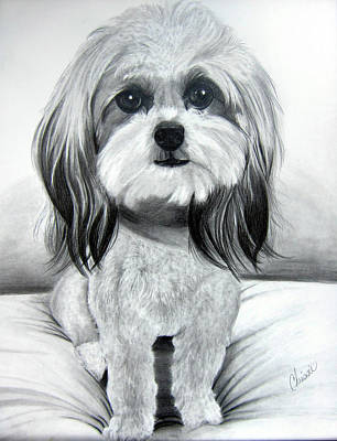 Shih-poo Painting - Shih Poo Graphite by Chrissie Leander