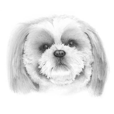 Shih Tzu    Art Print by Ann Hamilton