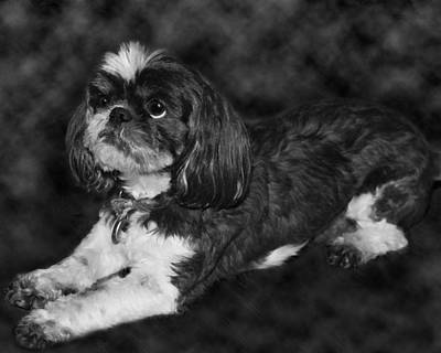 Recently Sold - Animals Royalty-Free and Rights-Managed Images - Shih Tzu by Adam Romanowicz