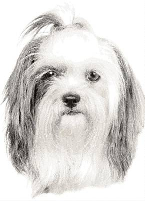 Drawing - Shih Tzu  - Cross Hatching by Samuel Majcen