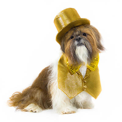 Water Droplets Sharon Johnstone - Shih Tzu in Gold Hat and Vest by Lynne Albright