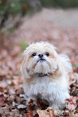 Photograph - Shih Tzu by Stephanie Frey