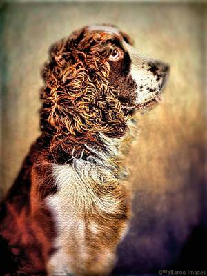 Retrievers Digital Art - Shiloh, English Springer Spaniel by Wallaroo Images