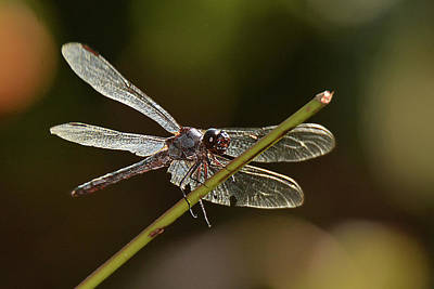 Photograph - Shimmering Dragonfly by Alan Lenk