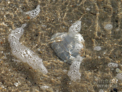 Photograph - Shimmering Tidepool Clam by Mary Haber