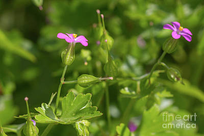 Photograph - Shining Crane's-bill by Jivko Nakev