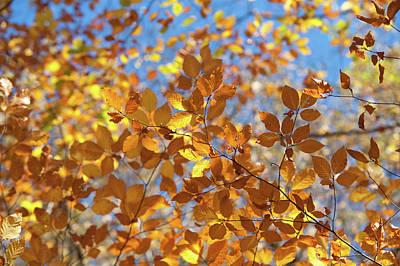 Photograph - Shining Gold Foliage Of Beech Tree by Jenny Rainbow