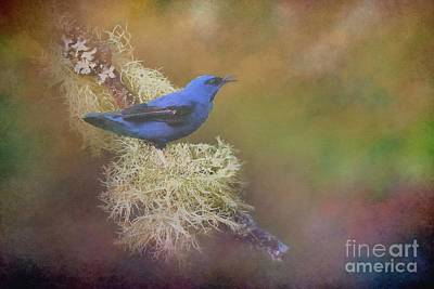 Photograph - Shining Honeycreeper by Janette Boyd