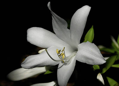 Botanical Photograph - Shining In The Sun Lily by Nat Air Craft