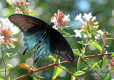 Blue Swallowtail Photograph - Shining Through by Betty LaRue