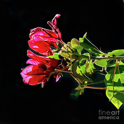 Photograph - Shiny Bougainvillea by Robert Bales