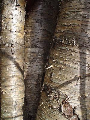 Cummington Photograph - Shiny Silver Birch by Rosemary Wessel