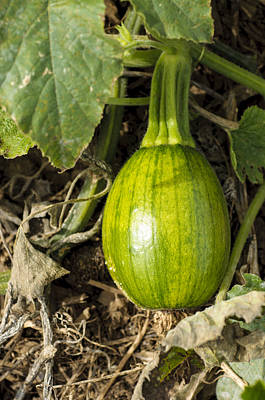 Photograph - Shiny Squash by Christi Kraft
