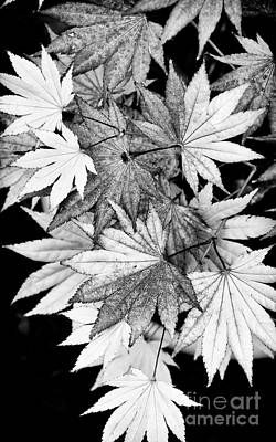 Photograph - Shirasawa Maple by Tim Gainey