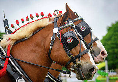 Photograph - Shire Horses by Colin Rayner