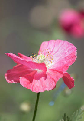 Photograph - Shirley Poppy 2017-1 by Thomas Young