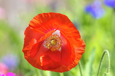 Photograph - Shirley Poppy 2018-2 by Thomas Young