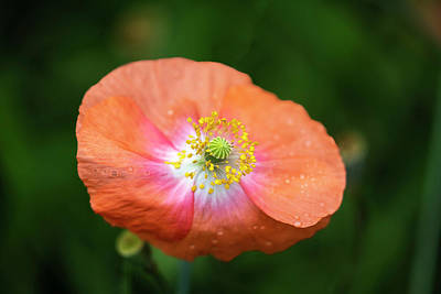 Photograph - Shirley Poppy 2018-4 by Thomas Young