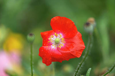 Photograph - Shirley Poppy 2018-5 by Thomas Young