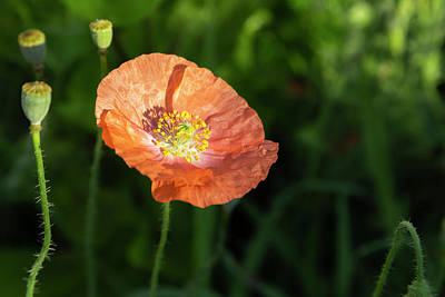 Photograph - Shirley Poppy 2018-8 by Thomas Young