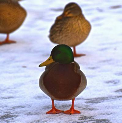 Photograph - Shivering Duck by Jenny Regan