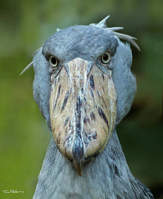 Photograph - Shoe-billed Stork by Tim Fitzharris