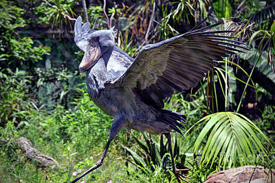 Photograph - Shoebill  by Savannah Gibbs