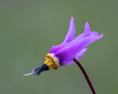 Photograph - Shooting Star by Jack Bell