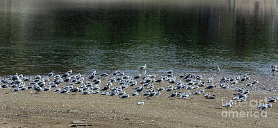 Photograph - Shore Birds by Jon Burch Photography