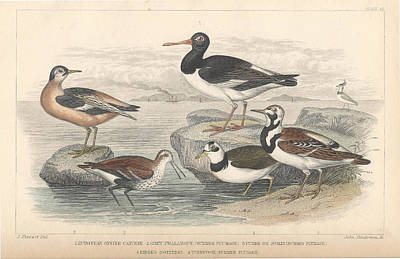 Wings Drawing - Shore Birds by Dreyer Wildlife Print Collections