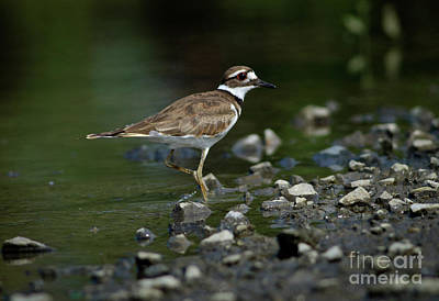 Killdeer Photograph - Killdeer  by Douglas Stucky