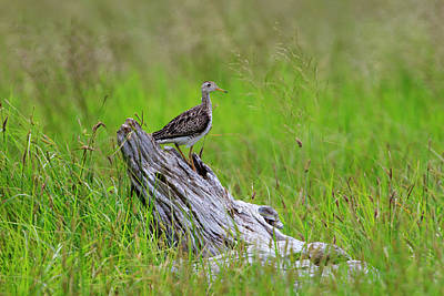 Photograph - Shorebird Of The Grasslands by Gary Hall