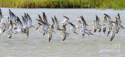 Photograph - Shorebirds In Flight by Kevin McCarthy