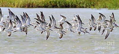 Photograph - Shorebirds In Flight by Kevin McCarthy