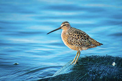 Photograph - Short-billed Dowitcher by Bill Pevlor