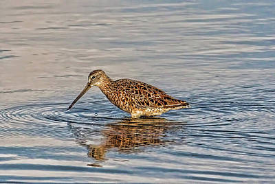 Photograph - Short-billed Dowitcher by HH Photography of Florida