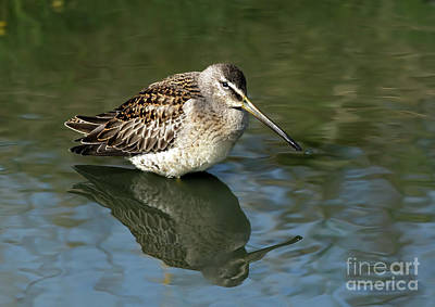Photograph - Short-billed Dowitcher by Sharon Talson
