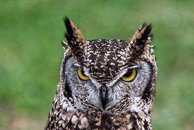 Photograph - Short Ear Owl  by Cliff Norton