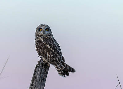 Photograph - Short-eared Owl 2018-1 by Thomas Young