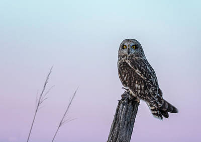 Photograph - Short-eared Owl 2018-2 by Thomas Young