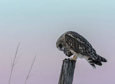 Photograph - Short-eared Owl 2018-3 by Thomas Young