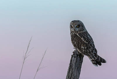 Photograph - Short-eared Owl 2018-4 by Thomas Young