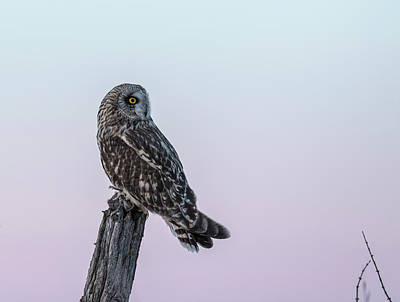 Photograph - Short-eared Owl 2018-5 by Thomas Young