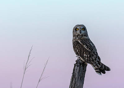 Photograph - Short-eared Owl 2018-6 by Thomas Young