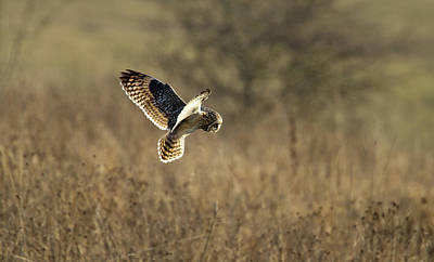 Short-eared Owl About To Strike Art Print