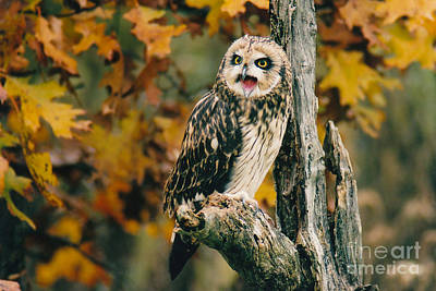 Photograph - Short-eared Owl Call by Charles Owens